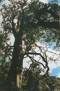 the oldest tea tree